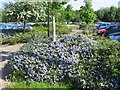 SJ3963 : Ceanothus at Wrexham road Park and Ride by John Firth