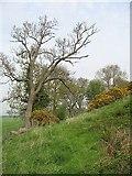 NS7692 : Ash, Hillhead by Richard Webb