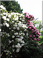 TG4800 : Flowering rhododendrons by Evelyn Simak
