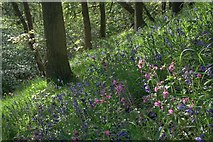 NZ5712 : Bluebells and Red Campion, Newton Woods by Mick Garratt