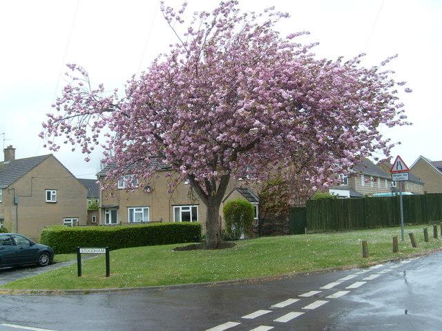 Cherry Tree at Stoodham