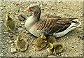 J4774 : Goose family, Kiltonga, Newtownards (3) by Albert Bridge
