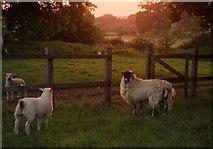 TL8063 : Sheep in the evening light by Bob Jones
