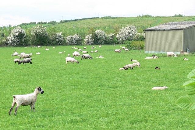 Sheep at Shellbrook