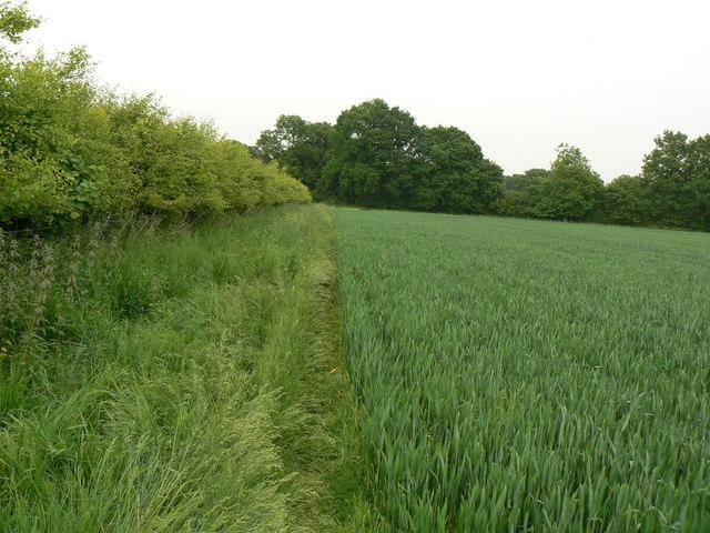Hedge, path, wheat