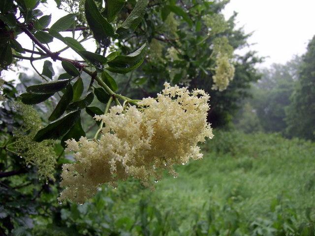 Elderflowers in the rain