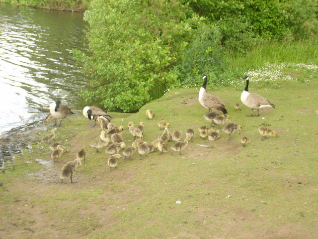 Geese by Sale Water Park