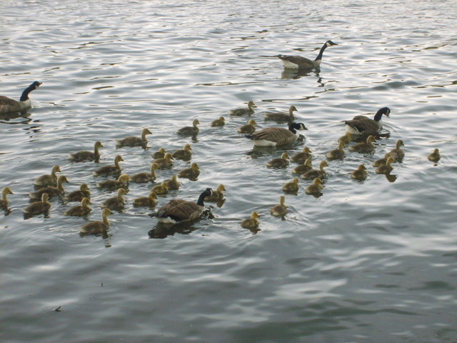 Geese on Sale Water Park