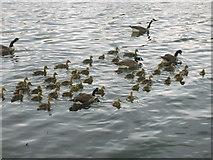 SJ8092 : Geese on Sale Water Park by Paul Lockett