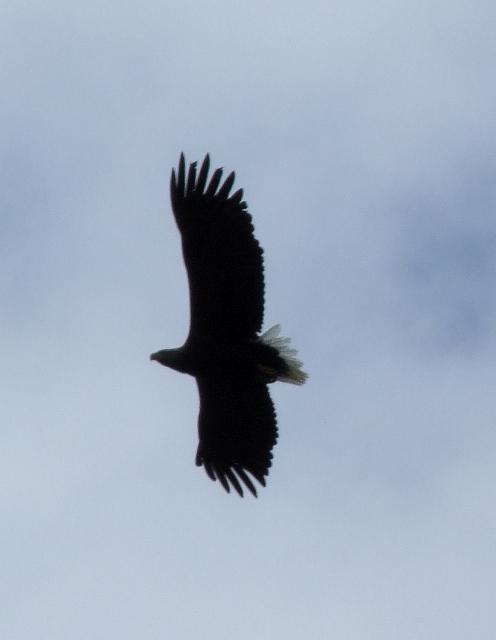 White Tailed Sea Eagle overhead off Udairn
