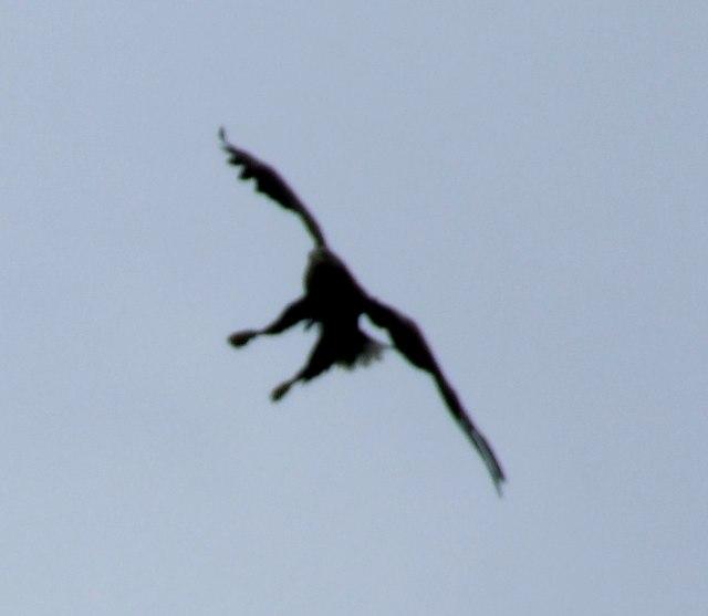 Sea Eagle prepares to dive for fish