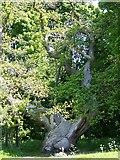 NO3524 : Spanish Chestnut Tree, Balmerino by Maigheach-gheal