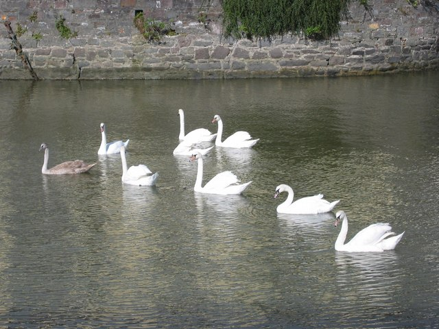 Swans at the Scotch Quay