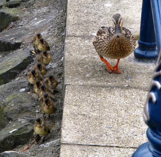 Mallard and ducklings, Bangor [1]
