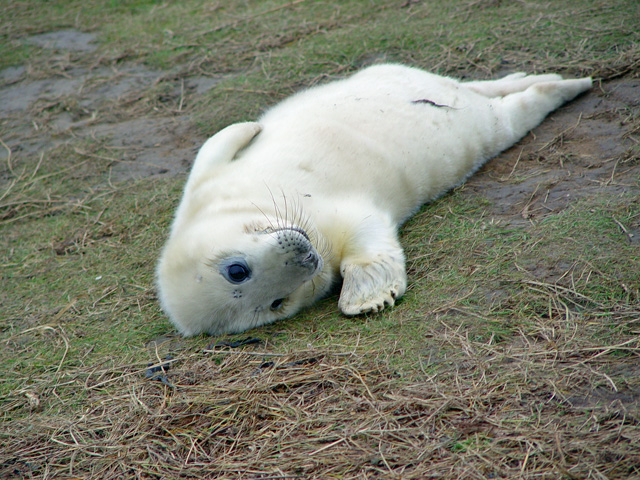 A young seal at Donna Nook