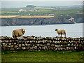 SM7024 : Dry Stone Sheep, Ramsey Island by Ms Dixon