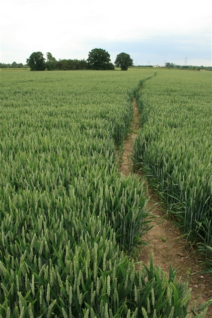 Footpath in wheat field
