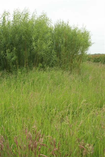 SRC willow