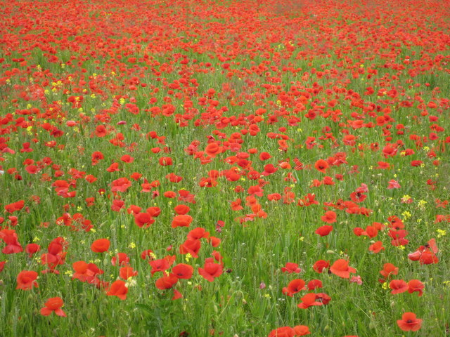 Field of poppies at Netherton