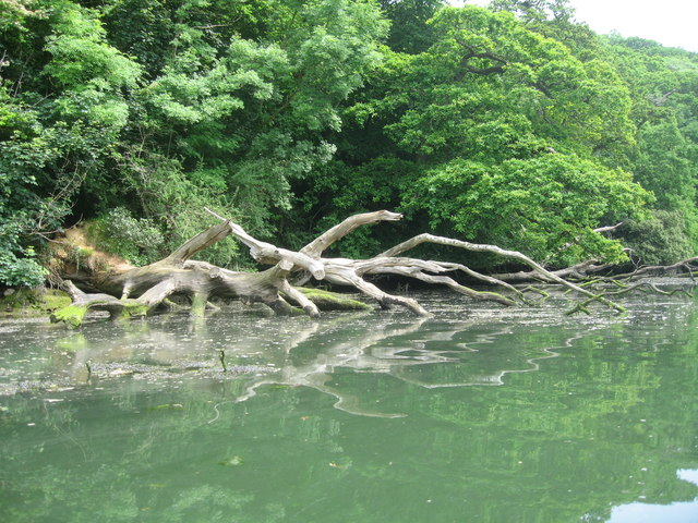 Frenchman's Creek Helford River - fallen tree