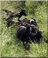 SX9152 : Black sheep, South West Coast Path by Derek Harper