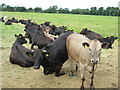 SO9941 : Heifers at Netherton by Philip Halling