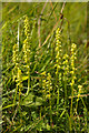 TQ1751 : Musk Orchids (Herminium monorchis) by Ian Capper