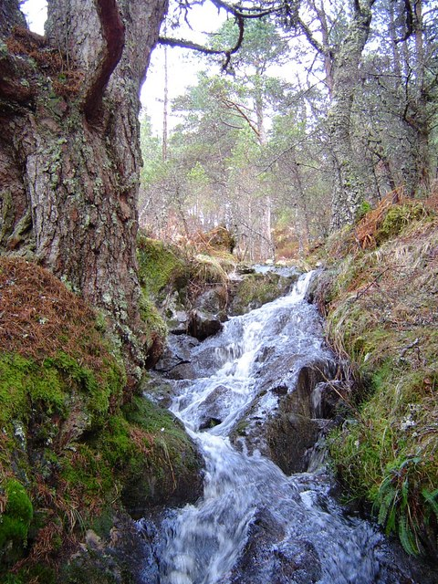 Caledonian Pine forest and stream near Loch an Eang