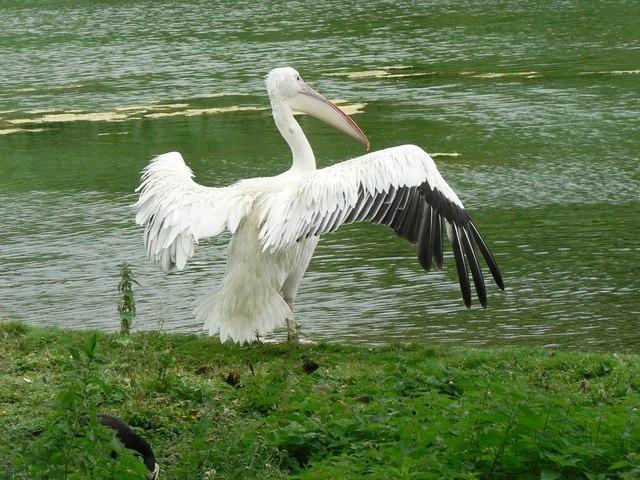 Westminster: a pelican displays its wingspan