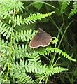 SO6112 : Ringlet butterfly by Pauline E