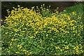 NJ1657 : Monkey Flower (Mimulus guttatus) by Anne Burgess