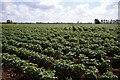 TF6223 : Potatoes to Lynn by Ben Harris