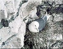 TA1974 : Kittiwake on nest by Gordon Hatton