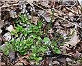 NJ2960 : Heath Speedwell (Veronica officinalis) by Anne Burgess