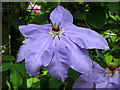 TG1432 : Blue clematis flower by Evelyn Simak