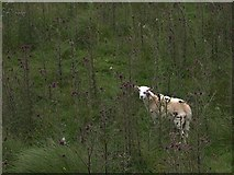 SN7951 : Sheep and Thistle by Rudi Winter