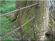 ST5295 : Piercefield Park - fence with tree having grown through it by Nick Mutton