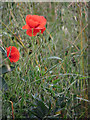 TG0321 : Poppies beside Mill Road by Evelyn Simak