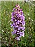 NS3778 : Heath Fragrant-orchid (Gymnadenia borealis) by Lairich Rig