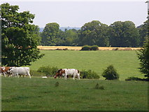 TQ1352 : Dairy Cattle by Polesden Lacey by Colin Smith