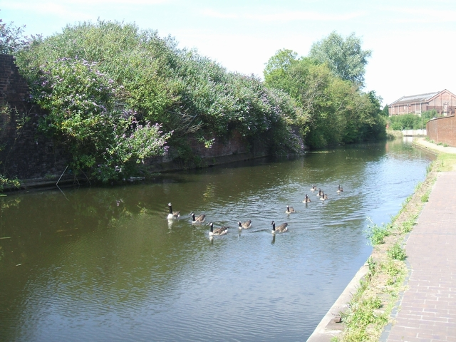 Flock of geese on the Birmingham Canal
