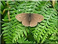 SO8578 : Female Ringlet butterfly at Hurcott Wood by Mat Fascione