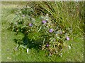 SD7738 : Pendle Thistles by Gerald England