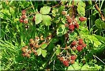J4846 : Blackberries near Downpatrick by Albert Bridge