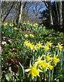SO7639 : Wild daffodils in News Wood by Trevor Rickard