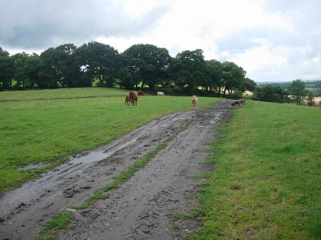 Cattle on footpath