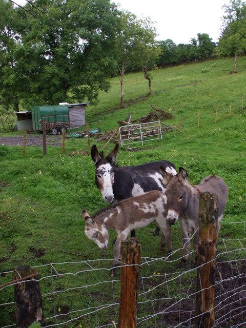 Family of donkeys: Ardnagassan