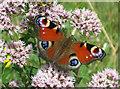 TF8745 : (European) Peacock butterfly by Zorba the Geek