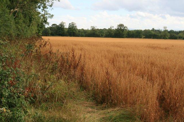 Golden grainfield at Brownstown, Co. Dublin.