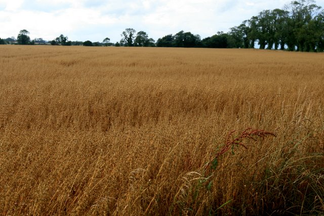 Ripened grainfield at Brownstown, Co. Dublin.